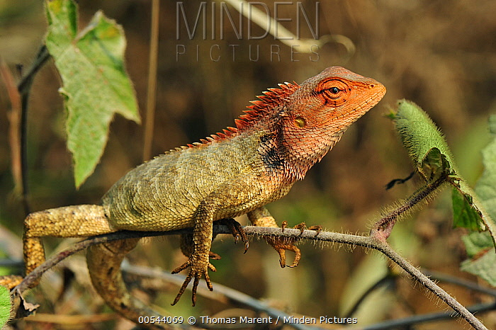 Changeable Lizard (Calotes versicolor), Agumbe Rainforest Research Station, Western Ghats, India  -  Thomas Marent