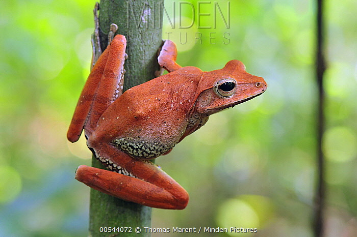 Western Tree Frog (Polypedates occidentalis) on tree, Agumbe Rainforest Research Station, Western Ghats, India  -  Thomas Marent