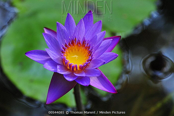 Water Lily (Nymphaea nouchali) flower, Western Ghats, India  -  Thomas Marent
