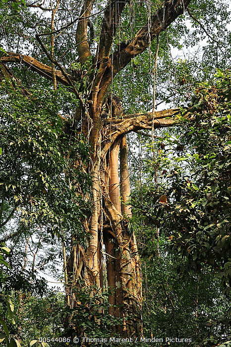 Fig (Ficus sp) tree, Manas National Park, Assam, India  -  Thomas Marent