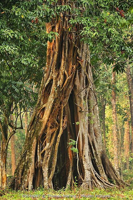 Fig (Ficus sp) tree, Manas National Park, Assam, India  -  Thomas Marent