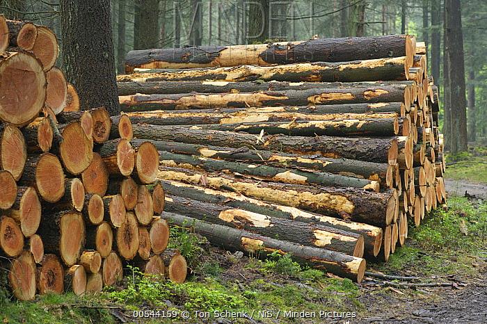 Douglas Fir (Pseudotsuga menziesii) wood pile in forest, Gelderland, Netherlands  -  Ton Schenk/ NiS