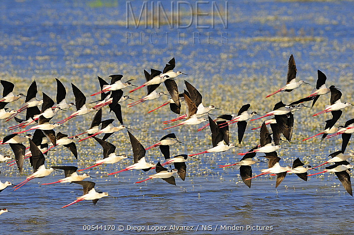 Black-winged Stilt (Himantopus himantopus) flock flying, Donana National Park, Huelva, Spain  -  Diego Lopez Alvarez/ BIA