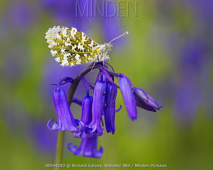 Orange Tip (Anthocharis cardamines) butterfly on English Bluebell (Hyacinthoides nonscripta), Devon, England, United Kingdom  -  Richard Garvey-Williams/ NIS