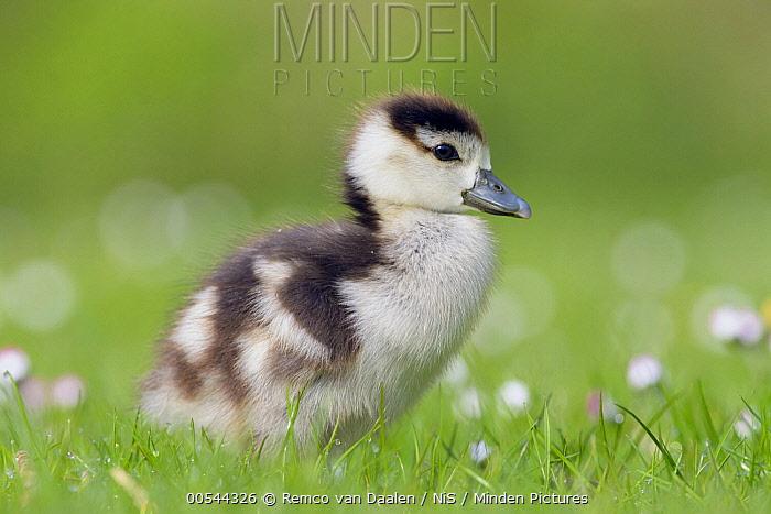 Egyptian Goose (Alopochen aegyptiacus) gosling in Common Daisy (Bellis perennis) field, Zuid-Holland, Netherlands  -  Remco van Daalen/ NIS