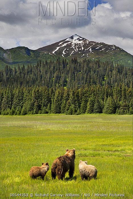 Grizzly Bear (Ursus arctos horribilis) mother and cubs in meadow, Lake Clark National Park, Alaska  -  Richard Garvey-Williams/ NIS