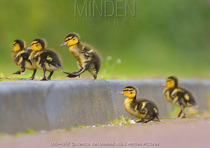 Mallard (Anas platyrhynchos) ducklings crossing street, Zuid-Holland, Netherlands  -  Remco van Daalen/ NIS