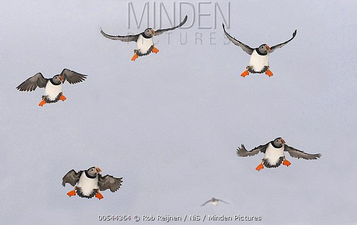 Atlantic Puffin (Fratercula arctica) group landing, Varanger Peninsula, Norway  -  Rob Reijnen / NiS