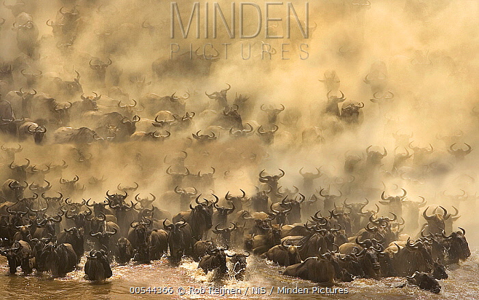Blue Wildebeest (Connochaetes taurinus) herd crossing river, Mara River, Masai Mara, Kenya  -  Rob Reijnen / NiS
