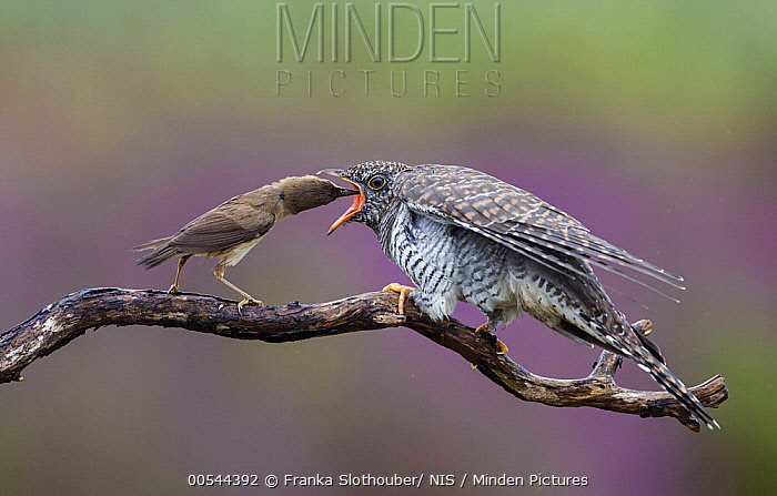 Eurasian Reed-Warbler (Acrocephalus scirpaceus) feeding parasitic Common Cuckoo (Cuculus canorus) chick, Amsterdam, Noord-Holland, Netherlands  -  Franka Slothouber/ NIS