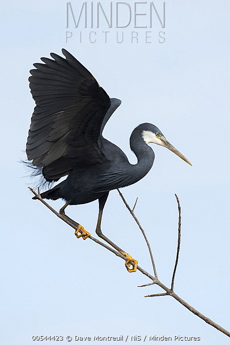Western Reef-Egret (Egretta gularis) balancing on branch, Cape Point, Gambia  -  Dave Montreuil/ BIA