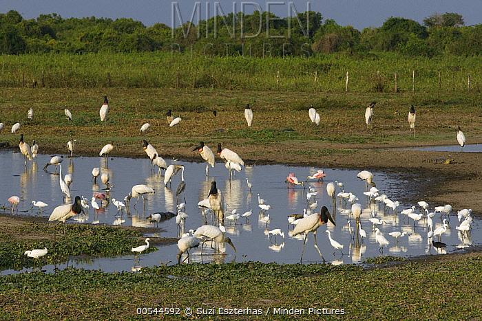 Jacare Caiman (Caiman yacare), Great Egret (Ardea alba), Limpkin (Aramus guarauna), Jabiru (Jabiru mycteria), Wood Stork (Mycteria americana), Snowy Egret (Egretta thula), White-necked Heron (Ardea cocoi), Roseate Spoonbill (Platalea ajaja), Wattled Jacana (Jacana jacana), and Black-necked Stilt (Himantopus mexicanus) at pond, Pantanal, Brazil  -  Suzi Eszterhas