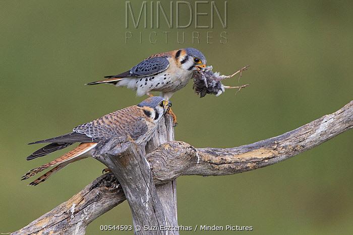 American Kestrel (Falco sparverius) pair feeding on songbird, Pantanal, Brazil  -  Suzi Eszterhas