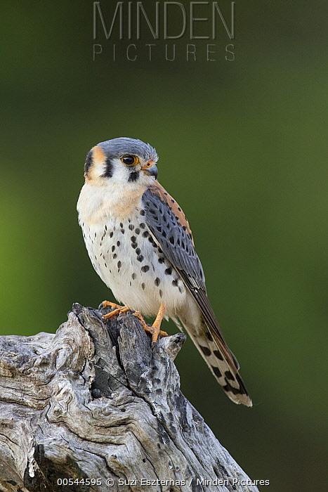 American Kestrel (Falco sparverius) male, Pantanal, Brazil  -  Suzi Eszterhas