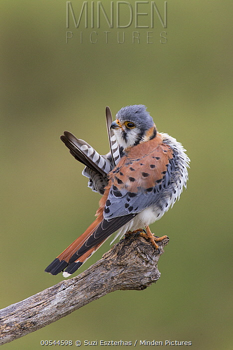 American Kestrel (Falco sparverius) male preening, Pantanal, Brazil  -  Suzi Eszterhas