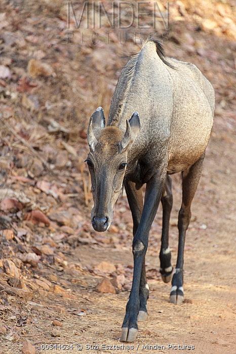 Nilgai (Boselaphus tragocamelus) female, Tadoba Andheri Tiger Reserve, India  -  Suzi Eszterhas