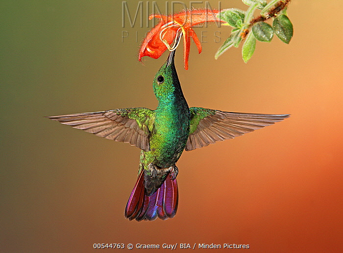 Green-breasted Mango (Anthracothorax prevostii) hummingbird feeding on flower nectar, Costa Rica  -  Graeme Guy/ BIA