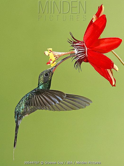 Green Hermit (Phaethornis guy) hummingbird male feeding on flower nectar, Costa Rica  -  Graeme Guy/ BIA