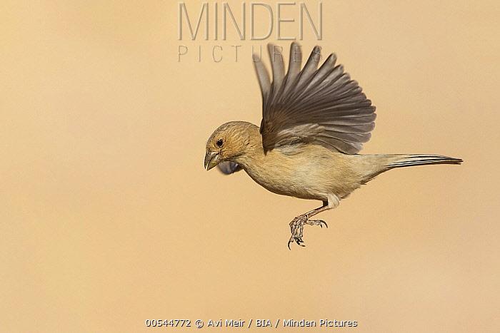 Pale Rosefinch (Carpodacus synoicus) female flying, Eilat, Israel  -  Avi Meir/ BIA