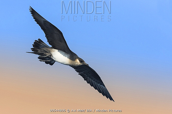 Arctic Skua (Stercorarius parasiticus) flying, Eilat, Israel  -  Avi Meir/ BIA