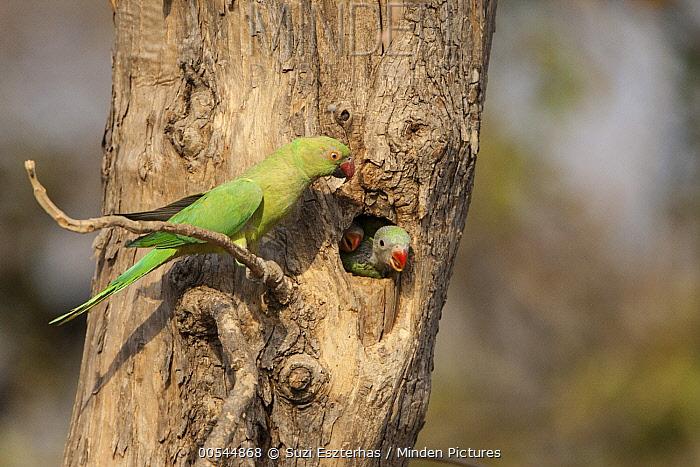 Rose-ringed Parakeet (Psittacula krameri) at nest cavity with chicks, Tadoba Andheri Tiger Reserve, India  -  Suzi Eszterhas