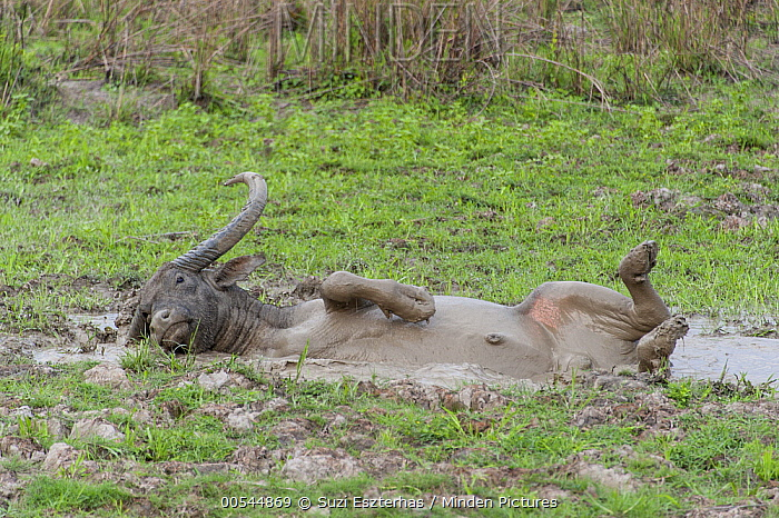 Water Buffalo (Bubalus arnee) wallowing in mud, Kaziranga National Park, India  -  Suzi Eszterhas