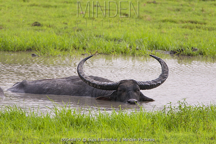 Water Buffalo (Bubalus arnee) in waterhole, Kaziranga National Park, India  -  Suzi Eszterhas