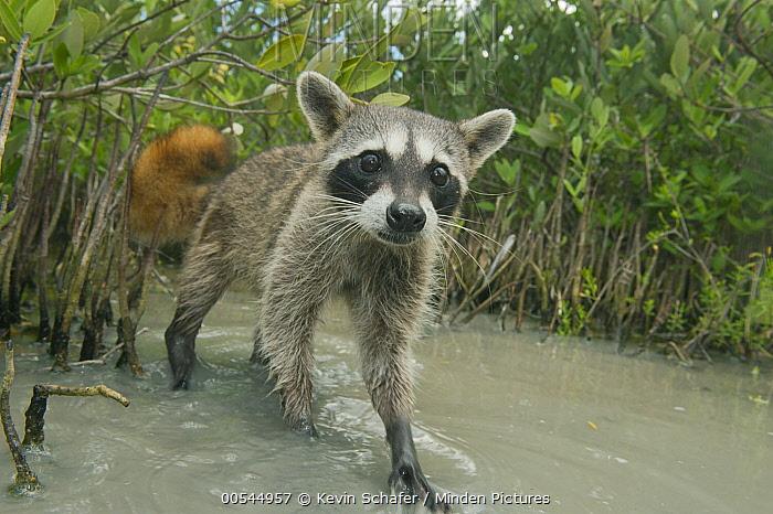 Cozumel Raccoon (Procyon pygmaeus), Cozumel Island, Mexico  -  Kevin Schafer