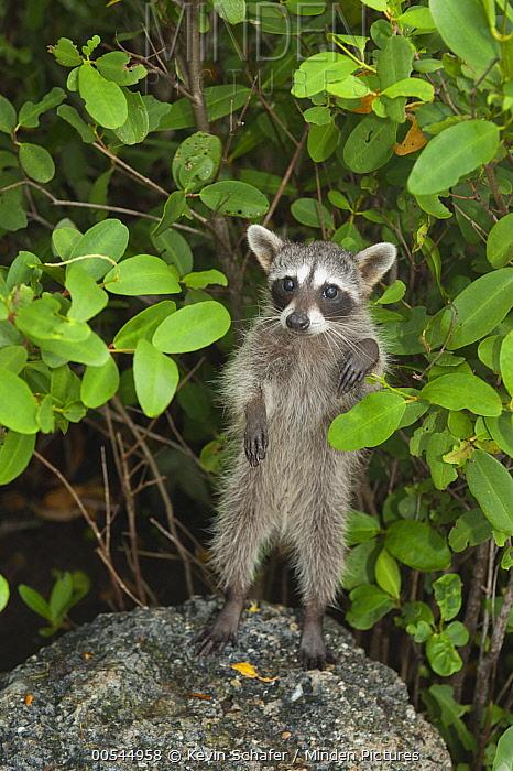 Cozumel Raccoon (Procyon pygmaeus) standing, Cozumel Island, Mexico  -  Kevin Schafer