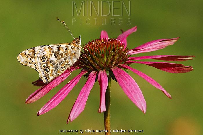 Painted Lady (Vanessa cardui) butterfly on Purple Coneflower (Echinacea purpurea), Netherlands  -  Silvia Reiche