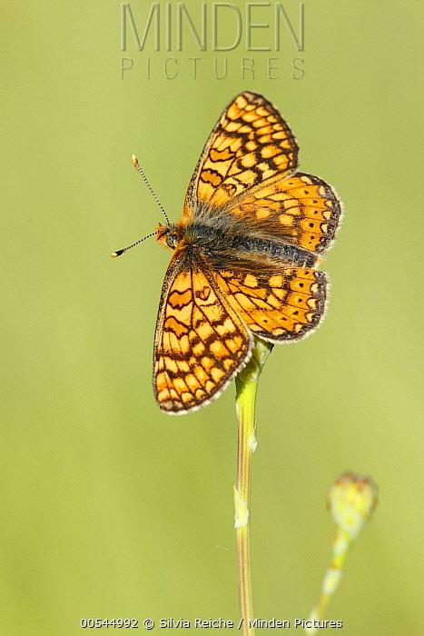 Marsh Fritillary (Euphydryas aurinia) butterfly, Luberon Valley, France  -  Silvia Reiche