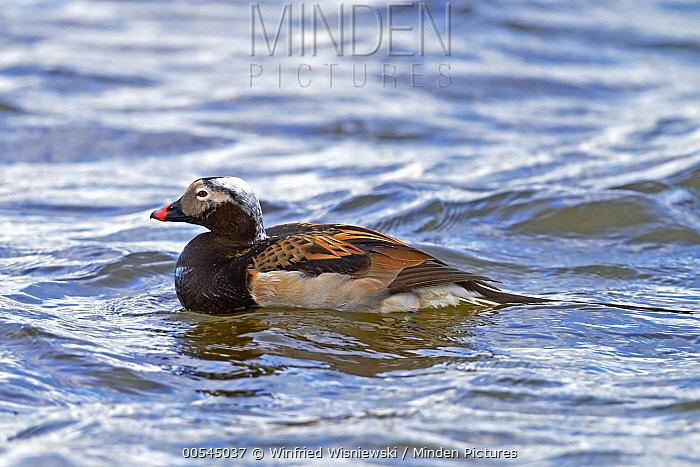 Long-tailed Duck (Clangula hyemalis) drake, Lake Myvatn, Iceland  -  Winfried Wisniewski