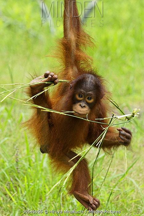 Sumatran Orangutan (Pongo abelii) juvenile playing with branch, native to Sumatra  -  Hiroya Minakuchi