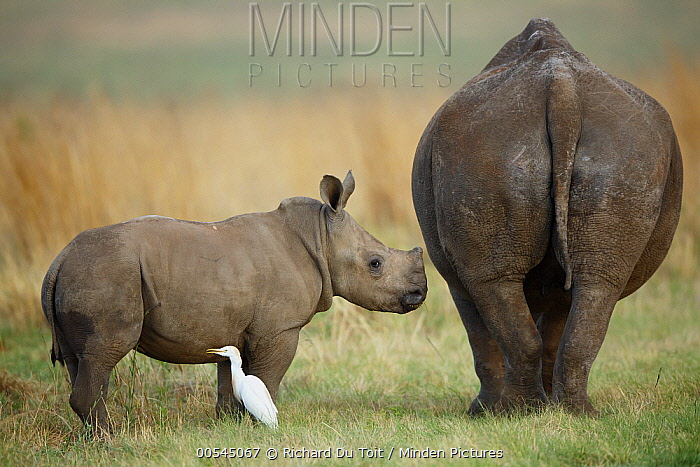 White Rhinoceros (Ceratotherium simum) mother and calf with Cattle Egret (Bubulcus ibis), Rietvlei Nature Reserve, South Africa  -  Richard Du Toit