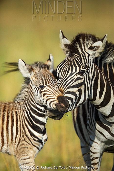 Burchell's Zebra (Equus burchellii) mother nuzzling foal, Rietvlei Nature Reserve, South Africa  -  Richard Du Toit