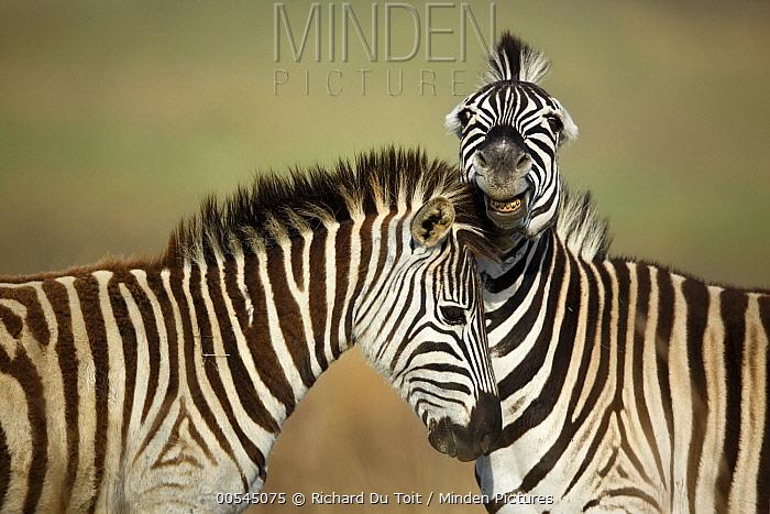 Burchell's Zebra (Equus burchellii) stallions fighting, Rietvlei Nature Reserve, South Africa  -  Richard Du Toit