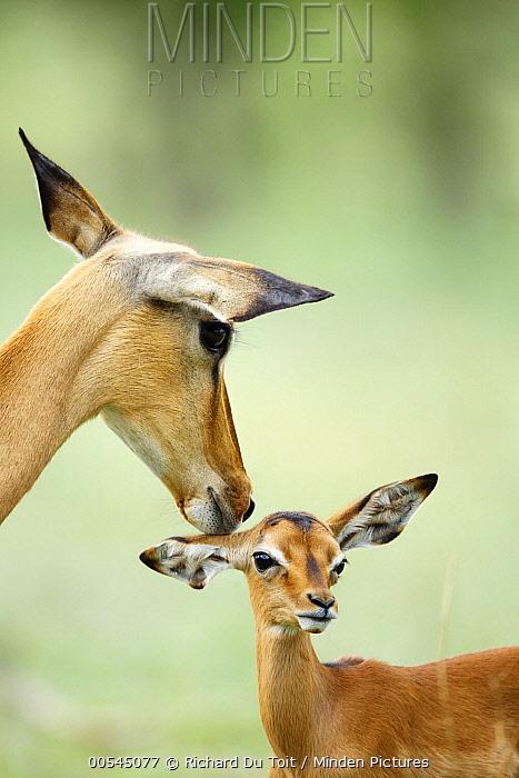 Impala (Aepyceros melampus) mother nuzzling one month old calf, Chobe National Park, Botswana  -  Richard Du Toit