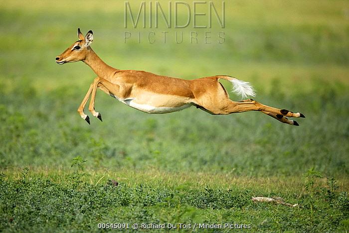 Impala (Aepyceros melampus) female jumping, Chobe National Park, Botswana  -  Richard Du Toit