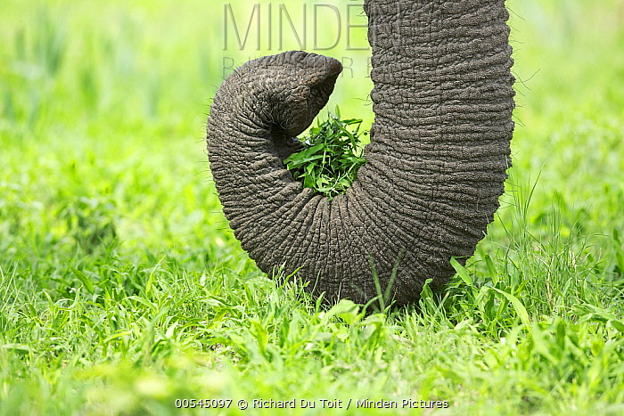African Elephant (Loxodonta africana) using trunk to pull up plants, Chobe National Park, Botswana  -  Richard Du Toit