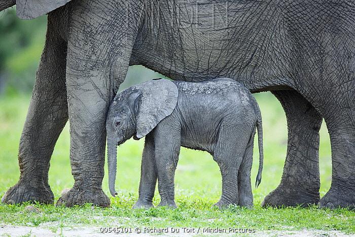 African Elephant (Loxodonta africana) mother and calf, Chobe National Park, Botswana  -  Richard Du Toit