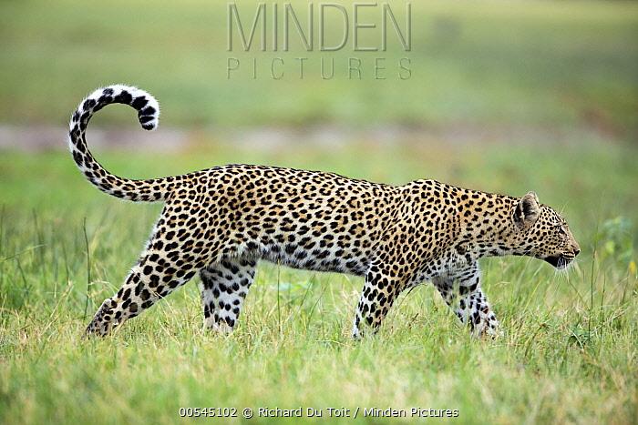 Leopard (Panthera pardus) female, Chobe National Park, Botswana  -  Richard Du Toit