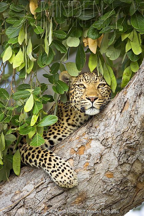 Leopard (Panthera pardus) female in tree, Chobe National Park, Botswana  -  Richard Du Toit