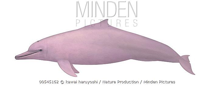 Indo-Pacific Humpbacked Dolphin (Sousa chinensis)  -  kawai haruyoshi/ Nature Producti