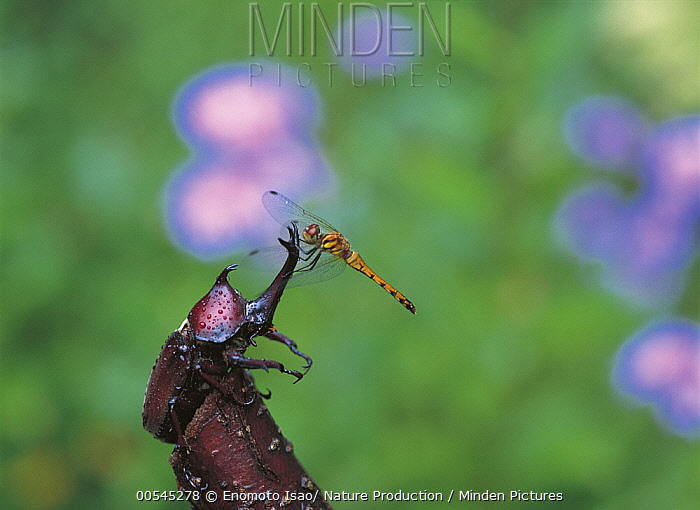 Horn Minden minden pictures stock photos japanese rhinoceros beetle