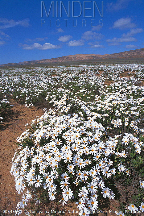 Daisy (Dimorphotheca cuneata) flowers, Namaqualand, Cape Province, South Africa  -  Tomiyama Minoru/ Nature Producti