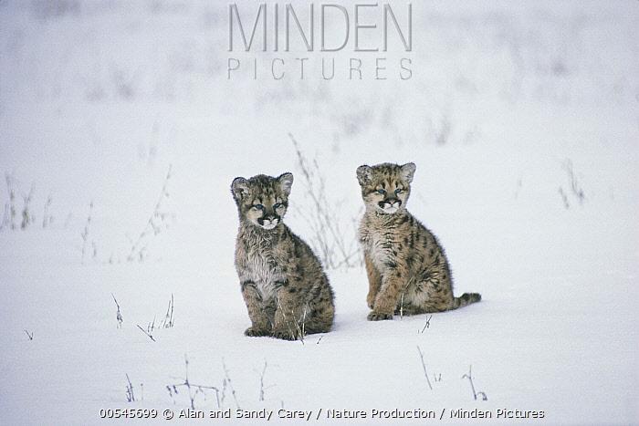 Minden Pictures stock photos - Mountain Lion (Puma concolor) kittens ...