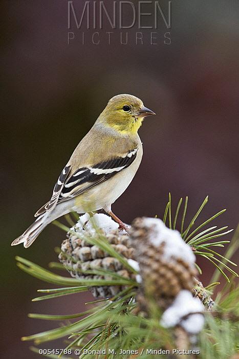 American Goldfinch (Carduelis tristis) male, western Montana  -  Donald M. Jones