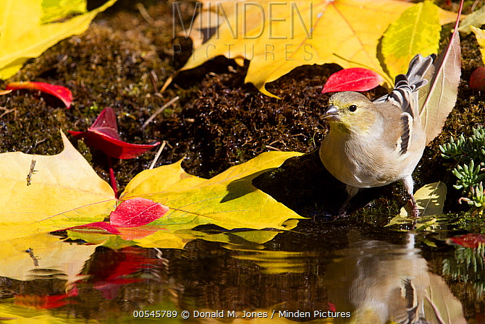 American Goldfinch (Carduelis tristis) female drinking, Montana  -  Donald M. Jones