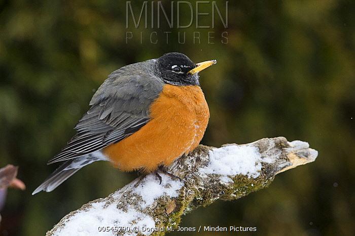 American Robin (Turdus migratorius) in winter with fluffed feathers, western Montana  -  Donald M. Jones