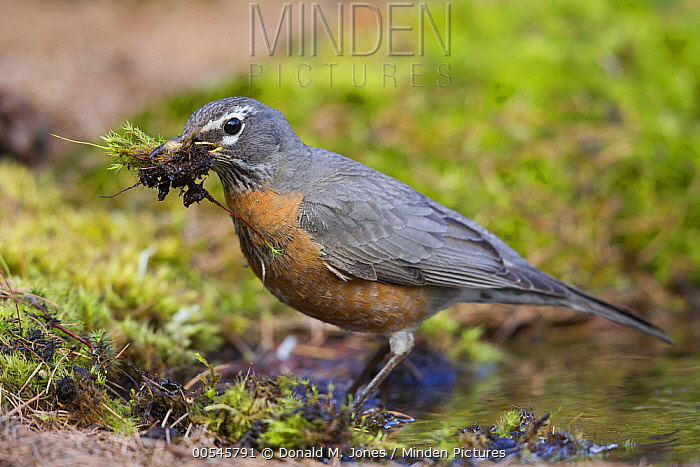 American Robin (Turdus migratorius) gathering nesting material, western Montana  -  Donald M. Jones